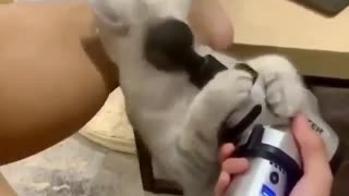 This is a cat that loves massages