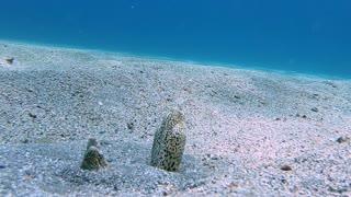 Moray Eels Interact on Ocean Floor