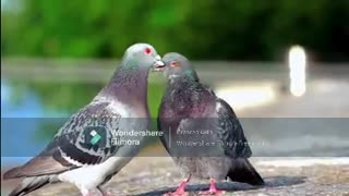 Are These Pigeons Actually Kissing?