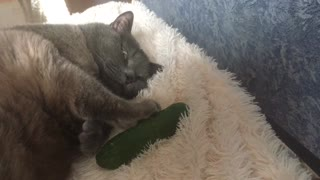 Weirdo cat hugs and cuddles cucumber for nap time