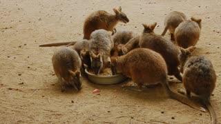 kangaroo beibis