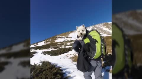 First westie to reach 8500 plus ft