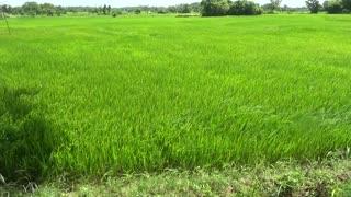Beautiful Sri Lanka Paddy Field