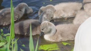 swan children