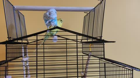 2 wavy parrots