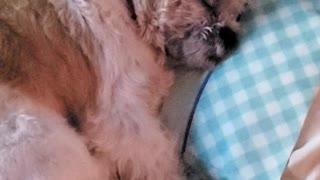 Dog Gets Woken Up While Sleeping Like Human