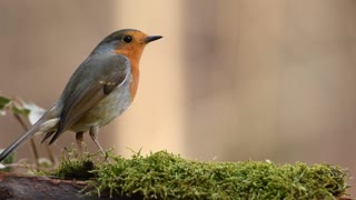 Robin Bird 1