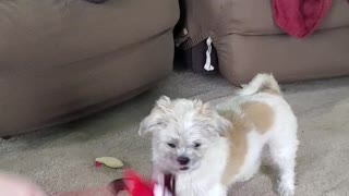 Dog takes girl on walk