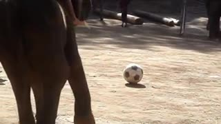 Thailand elephants playing football.