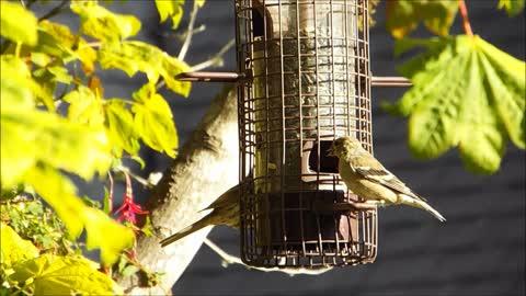 Finches & Flycatcher