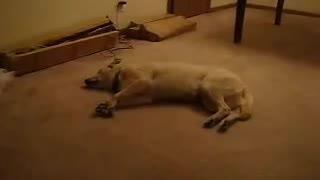 Sleep Walking Dog. sweet dreams