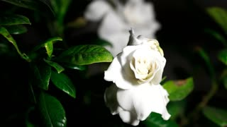 Time-Lapse of white gardenia flower opening in slow motion