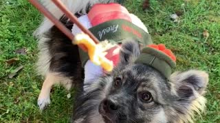 Puppy dressed as sushi eats sushi from chopsticks