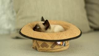 Siamese cat inside a hat!!!