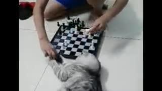 cat play chess