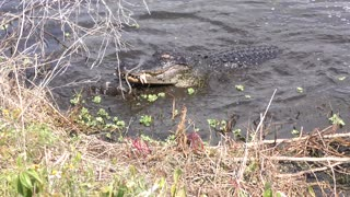 american alligator jumps and catches large brown water snake
