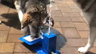 Dogs Use Teamwork For Drink of Water