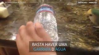 Periquito descobre brinquedo favorito: uma garrafa d'água