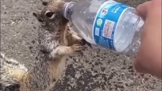 Thirsty Squirrel Drinks from Water bottle