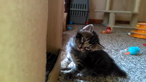 Cute Kitten Stares in Bewilderment. Meet Simon. He Stares At EVERYTHING This Way!