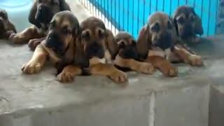Super Cute Bloodhound Puppies Singing