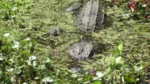 Baby alligators with their mother