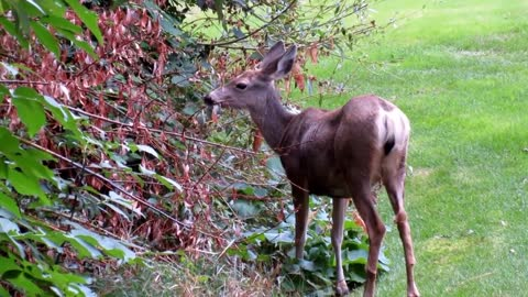 Hungry Male deer finds Tree Leafs