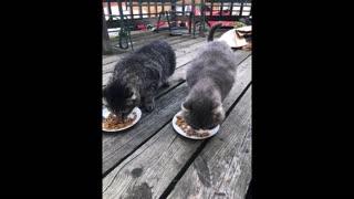 Odd Couple cats