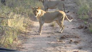 Lions Versus Honey Badgers