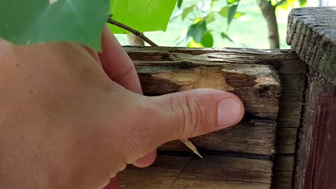 Fearful giant hornet collects wood