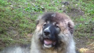 Caucasian Shepherd puppies