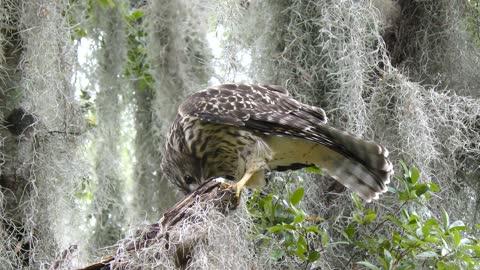 Hawk feeding on dragonfly