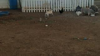 Pug Loves Chasing Chicken