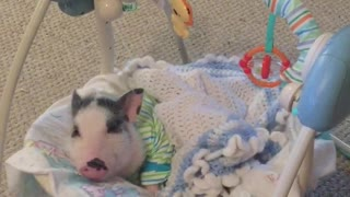 Spoiled piglet loves napping in baby swing