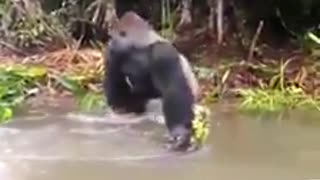 Angary gorilla through water to board guys!funny