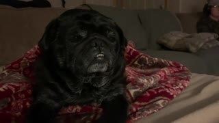 Charcoal The Pugs first Rumble video