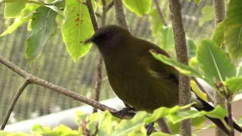 Hilarious New Zealand Bell Bird