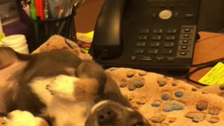 Adorable puppy takes nap on office desk