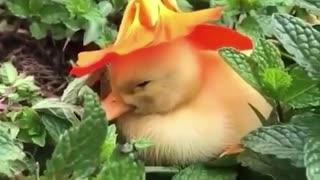 Duckling in a hat