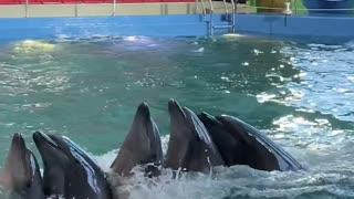 Dolphin Lambada