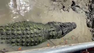 Crocodile Enjoys a Good Back Scratch