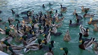 feeding the ducks havasu