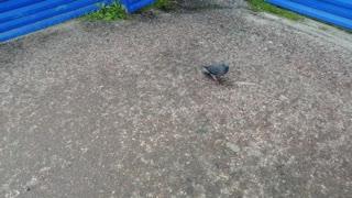 A beautiful pigeon is enjoying.