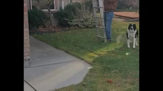 Skilled Doggy Loves to Climb Ladders