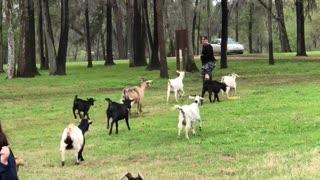 Goat party