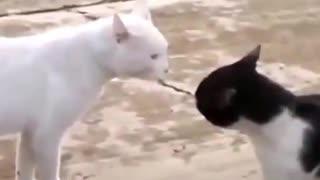 Violent fight between cats