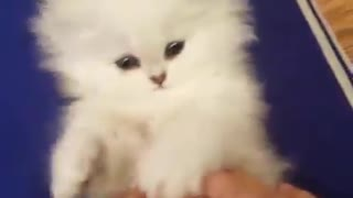 white kitten plays with forelegs