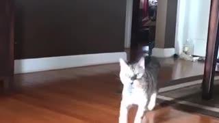 Grey cat plays fetch with purple slinky