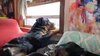Rottweiler & tennis ball take a nap