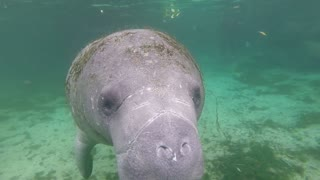Extremely Friendly Manatee Swims Right Up To Diver
